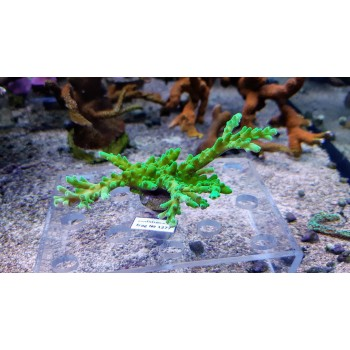 Acropora sp. - фраг №1277