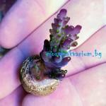 Acropora sp. - фраг №1515