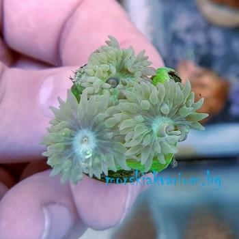 Duncanopsammia axifuga - frag №1476