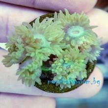 Duncanopsammia axifuga - frag №1750