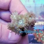 Duncanopsammia axifuga - frag №1554