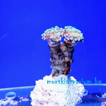 Euphyllia paraancora - фраг № 33
