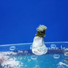 Euphyllia paraancora - фраг № 36