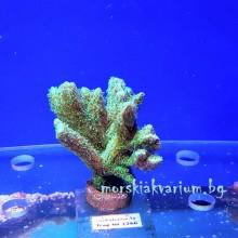 Hydnophora sp. (Neon Green) - фраг № 1266