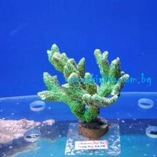 Hydnophora sp. (Neon Green) - фраг № 1478