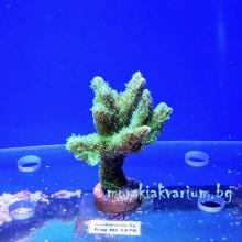 Hydnophora sp. (Neon Green) - фраг № 1479