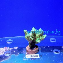 Hydnophora sp. (Neon Green) - фраг № 1480
