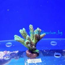 Hydnophora sp. (Neon Green) - фраг № 1481