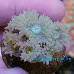 Duncanopsammia axifuga - frag №1552