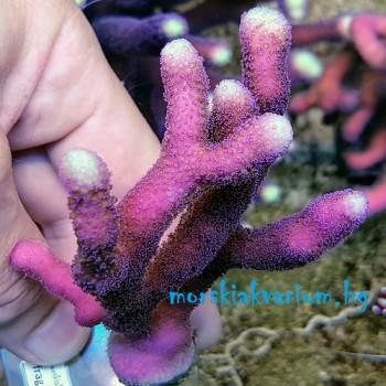 "Stylophora sp. Milka ""Pink"" - фраг №1572"