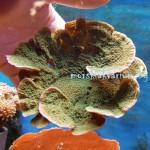 Montipora capricornis Green plate - фраг №18