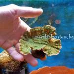 Montipora capricornis Green plate - фраг №19
