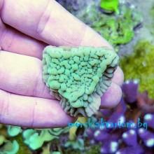 Montipora danae - фраг №1020