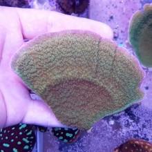 Montipora capricornis Green plate - фраг №2012