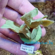 Pavona cactus - фраг № 1572