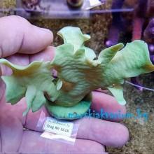 Pavona cactus - фраг № 1616