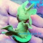 Pavona cactus - фраг № 2916