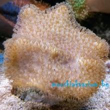 "Sarcophyton elegans ""Yellow"" - фраг №1"
