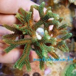 Seriatopora caliendrum (Electric Green) - фраг № 3071