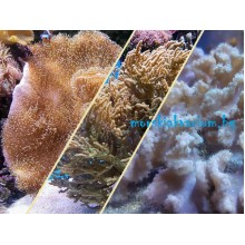 Стартов Пакет Меки Корали за Начинаещи - 3 броя