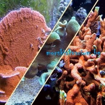 Стартов Пакет SPS Корали за Начинаещи Сет №2 - 3 броя