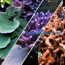 Стартов Пакет SPS Корали за Начинаещи Сет №3 - 3 броя