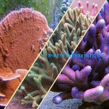 Стартов Пакет SPS Корали за Начинаещи Сет №4 - 3 броя