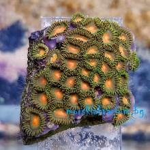 Zoanthus sp. - фраг № 2201