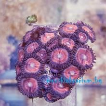 Zoanthus sp. - фраг № 2202