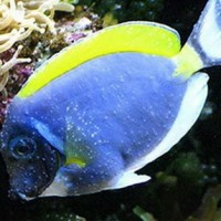 "Болест ""Бели точки"" по соленоводните риби (Cryptocaryon irritans)"