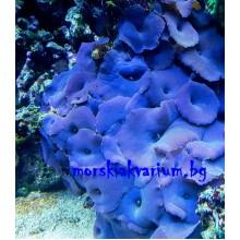 Actinodiscus sp. Blue/Purple