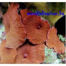 Actinodiscus sp. Red