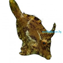 Acreichthys tomentosus - size S