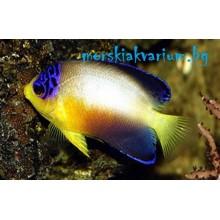 Centropyge multicolor - размер M