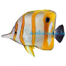 Chelmon rostratus - размер L
