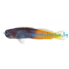 Ecsenius bicolor - размер L