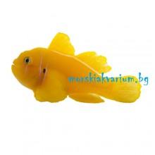 Gobiodon citrinus - размер L