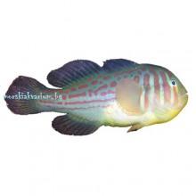 Gobiodon histrio - размер L