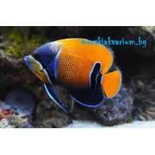 Pomacanthus navarchus - adult