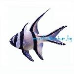 Pterapogon kauderni - размер M