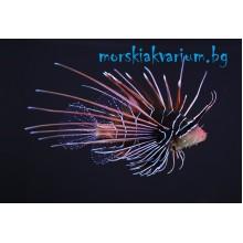 Pterois radiata - size S