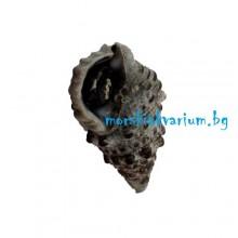 Cerithium caeruleum - размер M