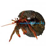 Clibanarius sp. - размер М