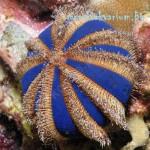 Mespilia globulus - размер - M