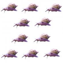 Мини Стромбус (Euplica scripta) - размер M (10 броя)